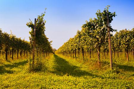 friuli-vineyards-bigstock-w